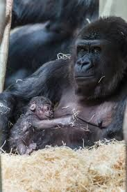 Bildergebnis für gorilla