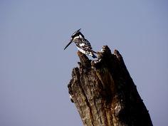 Pied Kingfisher.  Chobe River.   Botswana.