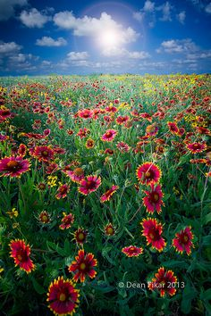 Texas Wildflowers spread across a Texas field. Beautiful World, Beautiful Places, Beautiful Pictures, All Nature, Amazing Nature, Mont Saint Michel, Wild Flowers, Fresh Flowers, Field Of Flowers