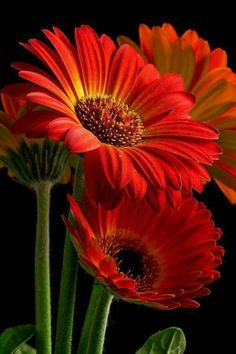 Red Gerber Daisiies