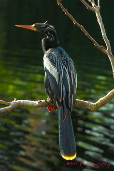 Bird.   Colourful Anhinga