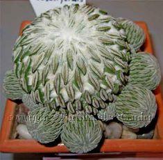 Aselliformis Pelecyphora