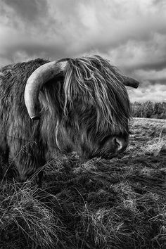 Scottish Highland (?) Cow by Jamie Myers