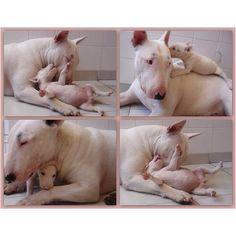 No todas las Bull no son buenas madres...