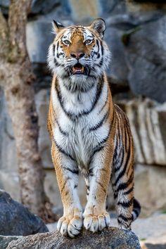 Tiger on watch Pet Tiger, Tiger Art, Tiger Cubs, Bengal Tiger, Bear Cubs, Tiger Pictures, Animal Pictures, Big Cats, Cool Cats