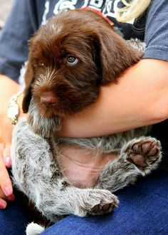 wirehaired pointing griffon | Tumblr