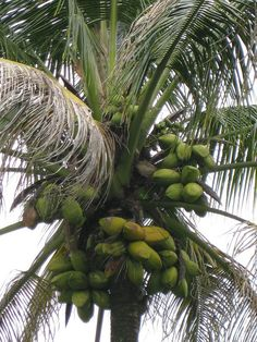 Coconut tree. The palm tree contains more than 3,000 different species in the world. The coconut palm is one of them. (I wanted to know what's the difference btw a palm tree and a coconut tree.)