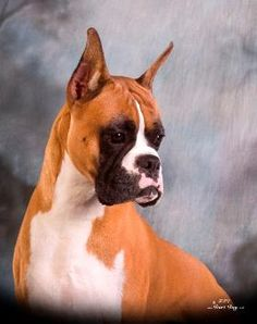 "Boxer dog ""Grant"" of Integrity Boxers"