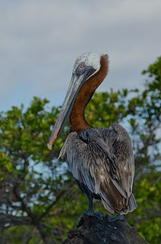 Brown Pelican (Galapagos Islands, Ecuador)