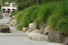 Miscanthus Gracillimus | Knoll Gardens | Ornamental Grasses and Flowering Perennials