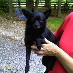 Zeb is an adoptable Schipperke/Chihuahua Mix Dog in Norris City, IL.  Zeb is a cute adorable fellow that just turned 1 yr old, weighing about 10 lbs. He has a coat about 1/2 in long that is very shinny with a curled...