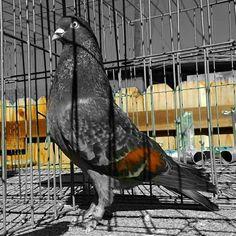 #pigeon #pigeons #birminghamroller Pigeon, Birmingham