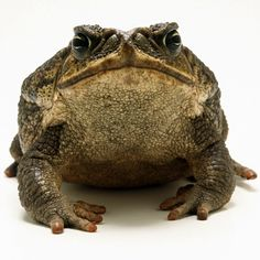 Cane Toad - The cane toad, also known as the giant neotropical toad or marine toad, is a large, terrestrial true toad which is native to Central and South America, but has been introduced to various islands throughout Oceania and the Caribbean. Wikipedia
