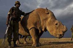 This Is The Last Remaining Male Northern White Rhino In The World