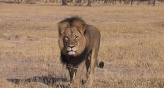 images of cecil the lion | Cecil the lion had become accustomed to human visitors. Video screen ...