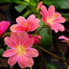 レウィシア #Flower_members #wwnrs_memb #MacroClique #snapshots_daily #ponyfony_flowers #quintaflower #symply_flowers #favv_flowers #9Vaga_FlowersArt9 #eye_for_earth #flowers_magazin #almostperfect_yellowpink  #af_floral #ig_flowers_world #bestshotz_flowers #flowerzdelight #venezuelagarden #natureloversgallery #tv_flowers #fotocatchers #nature_special_member #moodynature #nature_brilliance #igworld_nature #bestflowerspics #nature_of_our_world #eye_spy_flora  #kings_flora #ゆるりIGくらぶ #bomdever_flower…