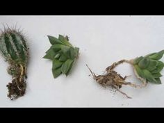 Reproduccion de cactus y crasas por hijuelos
