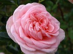 2éme prix grandes fleurs N° 317 - 71,22 points 'La Fontaine aux Perles®' - Adastridlo - Michel ADAM - France Généralement uniflore en première floraison, parfum puissant.