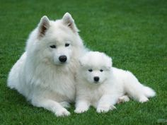 Samoyed -- much love to Diamond and Snow, two of the best dogs ever! (this photo is not of them) I will have a Samoyed again one day. American Eskimo Dog, Miniature American Eskimo, Samoyed Dogs, Pet Dogs, Doggies, Dalmatian Puppies, Pets, Yorkie Puppies, Labrador Dogs