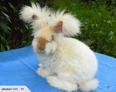 Um, reconsidering my decision on the Flemish Giant! This guy is AMAZING! - by previous pinner - Angora rabbit, right?