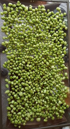 pounds of Nugget hop cones drying on a screen. Calming Tea, Beer Hops, Mead, Home Brewing, Harvest, Ale, Pergola, Gardening, Fruit