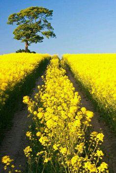 Canola fields Skåne - Sweden