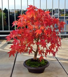 Japanese Red Maple Bonsai Trees: How to Grow and Care #bonsai #maple #japanesemaple #bonsaitrees #Florgeous