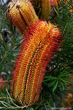 Banksia ericifolia X Banksia spinulosa - © All Rights Reserved - Black Diamond Images Exotic Plants, Tropical Plants, Cactus Plants, Australian Native Garden, Australian Plants, Diamond Image, Native Australians, Native Plants, Black Diamond