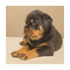 Cute rottweiler puppy wood wall art - dog puppy dogs doggy pup hound love pet best friend