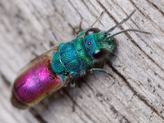 Ruby-Tailed Wasp!  Call A1 Bee Specialists in Bloomfield Hills, MI today at (248) 467-4849 to schedule an appointment if you've got a stinging insect problem around your house or place of business! You can also visit www.a1beespecialists.com!