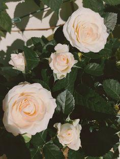 White rose in bloom #roseinpot #whiterose #balconyrose