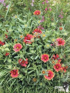 """גיירדיה גדולת פרחים גובלין  יאיר - מתחילה לפרוח מוקדם, בפברואר מרץ, בשיא הקיץ פחות. למשך חודשיים בערך גובה: 40-30 ס""""מ מרווחי שתילה: 30 ס""""מ מאפיין צמח: רב-שנתיים עשבוניים צבע פריחה: צהוב עם אדום עונת פריחה: באביב, בקיץ ובסתיו ירוק-עד טיפול: זקוק לקיטום חוזר של תפרחות יבשות לקבלת פריחה שופעת, בסוף החורף יש לגזום נמוך עד הקרקע (אם לא גוזמים, תזריע את עצמה) תנאי אור: קרינת שמש ישירה צריכת מים: מועטה-בינונית קצב צימוח: מהרי הערות: יוצר ספיח זן זה הוא הכלאה בין גיירדיה יפהפיה לבין…"""