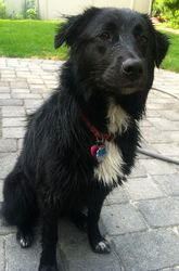 Sadie is an adoptable Australian Shepherd Dog in Spring Lake, NJ. Hi I'm Sadie, a beautiful,  loving 9 month old Australian Shepherd mix.  As you can see from my pictures, I love to play ball and Fr...