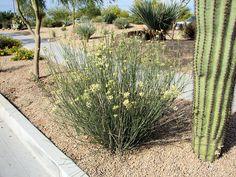 Desert Milkweed, Asclepias subulata. Also called: Skeleton Milkweed, Rush Milkweed, Ajamente. Xeriscape Landscape Plants & Flowers For The Arizona Desert Environment. Pictures, Photos, Images, Descriptions, & Reviews. Succulents.