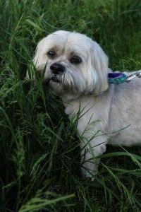 ADOPTED! Beamer! The Dandiest Dinmont Terrier in Troy, NY!