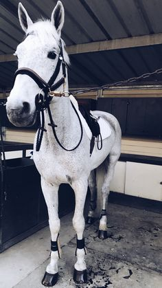 The perfect stallion ready for a hack!