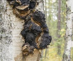 Side Effects of the Chaga Mushroom Growing Mushrooms, Wild Mushrooms, Stuffed Mushrooms, Healing Herbs, Medicinal Plants, Natural Healing, Mushroom Benefits, Edible Wild Plants, Edible Mushrooms