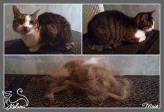 Ook kortharige katten hebben veel baat bij een trimbehandeling. Dode/losse haren worden verwijderd. De vacht zal weer glanzen en vol van kleur zijn en u heeft lange tijd veel minder last van haren in huis. U kunt Kalumi altijd bellen of mailen voor advies. Ook kunt u vrijblijvend een afspraak maken en met uw dier(en) langskomen. Trimsalon Kalumi kan uw dier dan goed bekijken en beoordelen welke behandeling het meest geschikt is. Indien nodig kan aansluitend meteen een behandeling…