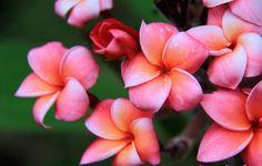 Tipanie , flor aromática que usan las isleñas de Rapa Nui como adorno .