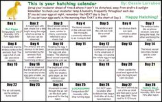 DUCK HATCHING CALANDER