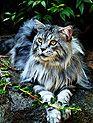 elegant Maine coon cat by Lori Sash-Gail Photography