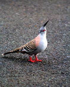 'Crested Pigeon' by PhotosbyCris Pretty Birds, Beautiful Birds, Crested Pigeon, Sales Image, Colorful Birds, Bird Feathers, Wildlife, Joy, Colourful Birds