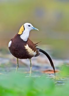 Pheasant-tailed jacanas breed in India, SE Asia and Indonesia, and have been recorded as vagrants in Australia. (Prasanna AV)