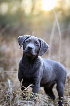 Are you talking to me? silver labrador puppy #labradorretriever