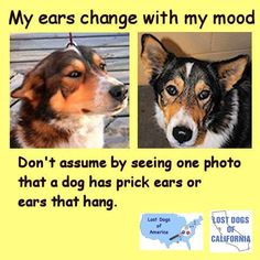 Remember, appearances can be deceiving. Don't assume by seeing one photo that a dog has prick ears or ears that hang.