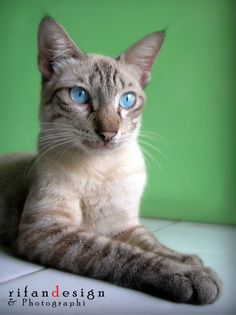 lynx point Siamese cat by rifandesign.deviantart.com on @deviantART