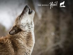 Howling wolf. Wolves have sophisticated social lives, which leads to a complex array of howls that signal different things.