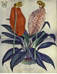 Anthurium andegavense. Flore des serres et des jardins de … | Flickr - Photo Sharing!