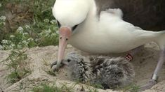 """Wisdom, the 65-year-old Laysan albatross, may even be a better mom with her decades of parental experience, experts say. Amazing Bird: Age 65, May Have Had 40 Chicks, Traveled Three Million Miles WATCH: Meet """"Wisdom,"""" the world's oldest known wild bird, and her newest chick, hatched earlier this month. Video: U.S. Fish and Wildlife Service"""