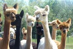 after shearing of their luxurious fiber, they have skinny necks   :)